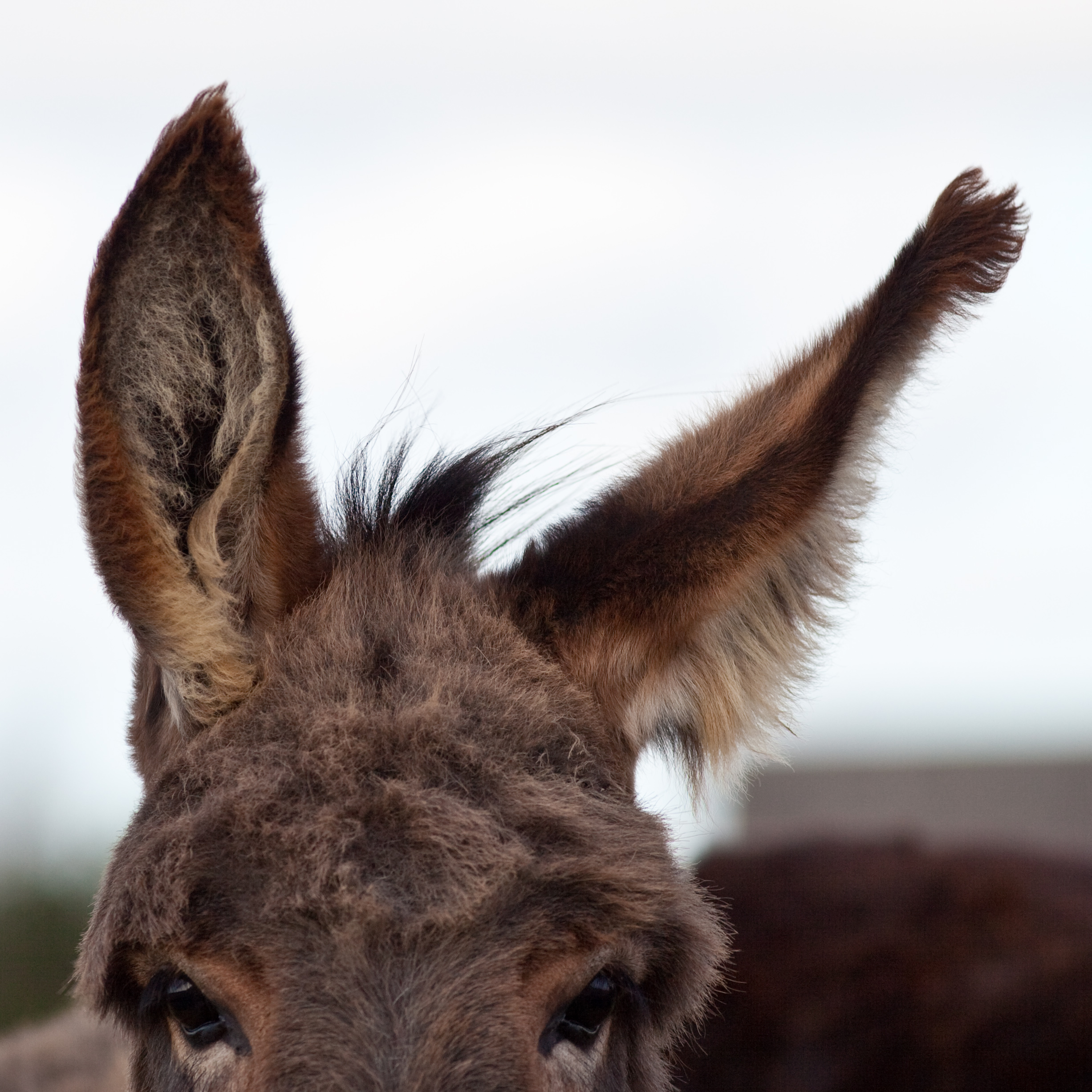 Donkeys_ear.jpeg, de Hakan Dahlstrom, Suède, via wikimedia Commons
